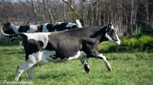 Koeiendans
