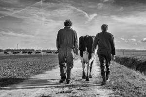 Koeien naar buiten